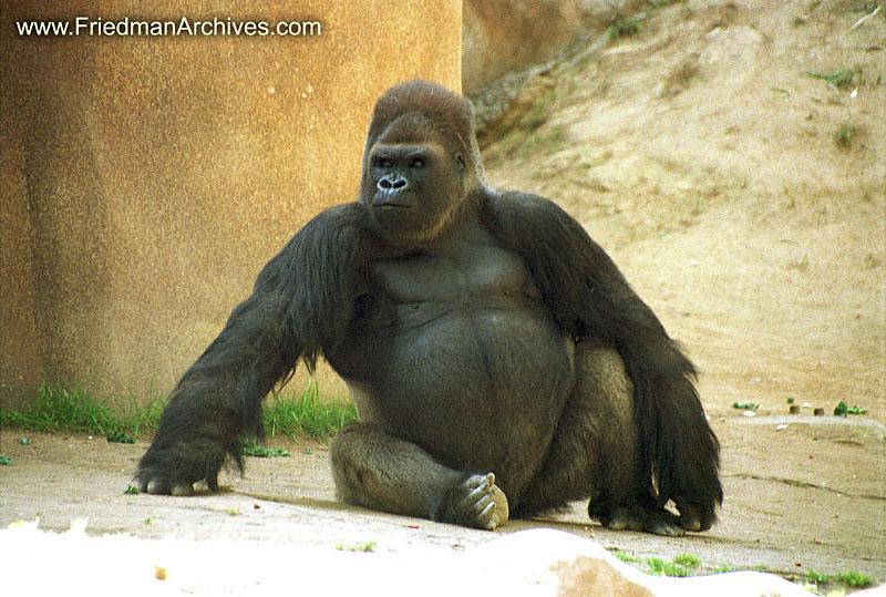 الغوريلا هي اكبر الرئيسيات حجماً واثيرت حولها في الماضي قصص