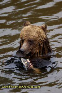 Bear eating fish vertical