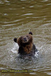 Bear in water in rain