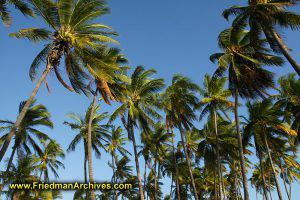 Gazillion Palm Trees - Horizontal