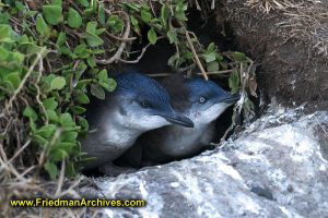 Little Penguins in Hole
