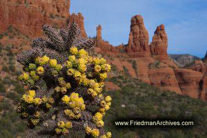 Sedona Cactus Flowers