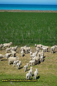 Sheep (vertical)