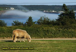 Sheep and Fog