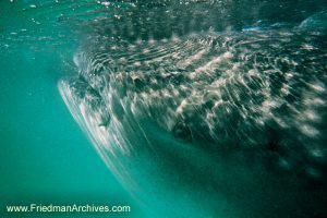 Whaleshark Eye Close-Up