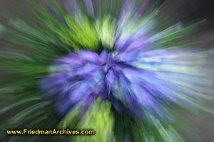 Zooming Purple Hydrangea