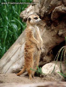 meerkat,standing,